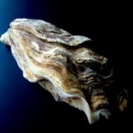 Oyster are common sources of food born vibrio bacteria