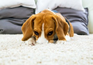 Carpet can become a quick source of nutrients for microorganisms; therefore, it is important to test the efficacy of antimicrobials in carpet.