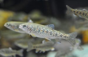 different types of juvenile fish can be used for OECD 215; rainbow trout are the recommended species for this test method.
