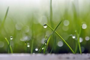 Bent Grass up close